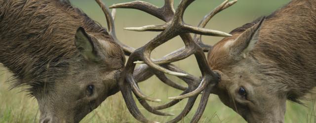 Conflict (Red Deer)